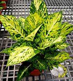 [星光燦爛粗勒草] 6吋盆 活體盆栽 送禮盆栽 室內盆栽 半日照佳