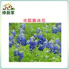 【綠藝家】H05.魯冰花(水藍色)種子3...