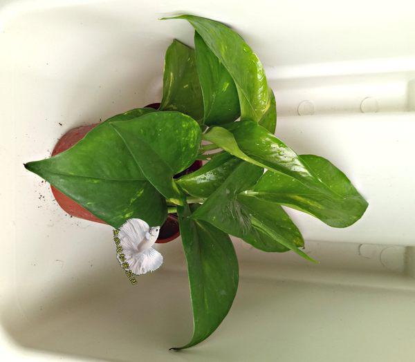 活體 黃金葛 綠蘿 室內植物3吋盆栽 可以淨化空氣