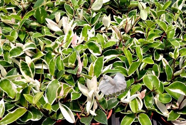 活體 [白球蘭 白毬蘭] 室內植物 3吋盆栽 送禮小品盆栽