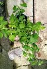 [ 覆盆子莓果盆栽 5-6吋盆] 香草植物/藥用植物活體盆栽 可食用可泡茶