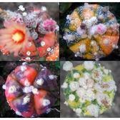ⓒ新鮮兜錦種子(10顆裝) 進口多肉植物/仙人掌種子【G13】