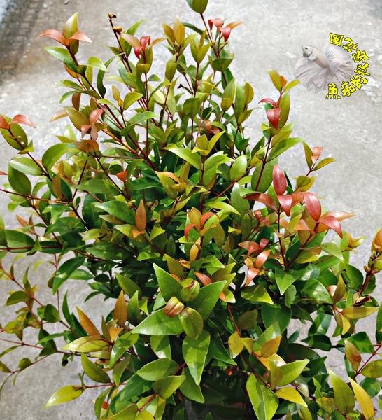 [長虹木 長紅木盆栽] 5-6吋盆 活體多年生室外盆栽 送禮盆栽 半日照佳