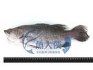 1C2A【魚大俠】FH180台灣三去金目...