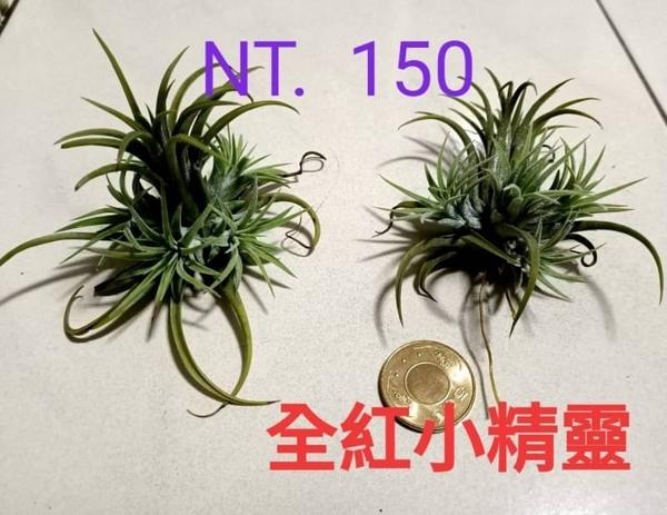 [ 多頭 全紅小精靈空氣鳳梨 ionantha rubra ]活體空氣鳳梨 空鳳植栽 需通風良好
