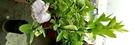 黃金檸檬 檸檬苗盆栽 4吋黑盆活體盆栽, 可食用
