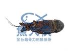 1B7B【魚大俠】SP084生凍青殼龍蝦...