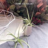 CARMO 印加黃金空氣鳳梨(單個) 空鳳【KF142】