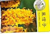 [超香 黃色風信子盆栽] 2.5寸盆 室內濃香花卉 多年生球根類觀賞花卉盆栽