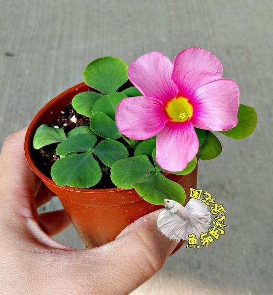 [粉紅/桃紅色 芙蓉榨醬草 大花幸運草] 3寸盆 室外花卉 多年生觀賞花卉盆栽