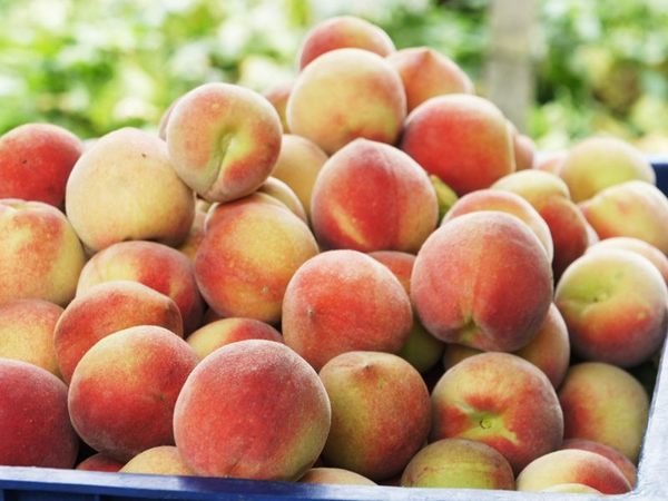 [台中]採果體驗-新峰農場〔2-4月枇杷、4-5月甜蜜桃、6-7月及10-12月葡萄、11-12月筆柿〕