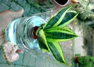 [ 虎尾蘭 虎皮蘭 水耕盆栽] 玻璃瓶水...