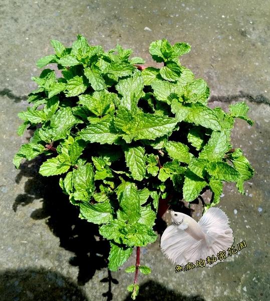 [大薄荷 綠薄荷盆栽] 5-6吋盆活體香草植物盆栽, 可食用可泡茶