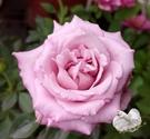 指定顏色 [紫色]小玫瑰小薔薇盆栽  3...