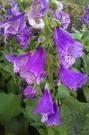 花花世界_季節花卉--毛地黃(紫色),花色亮麗--觀賞花卉/5吋盆/高30-40公分/Tm