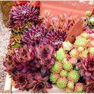 CARMO長生草屬混合種子(10顆裝) 多肉植物種子【K56】