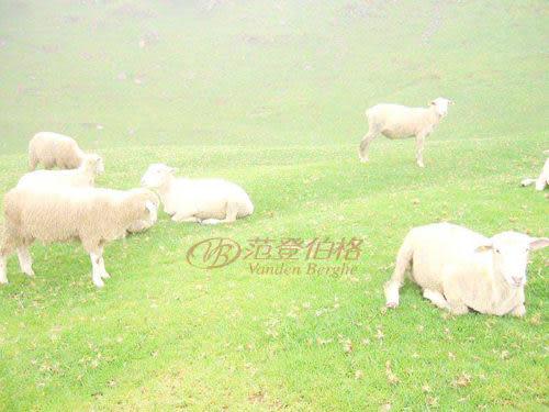 范登伯格-澳洲五星級羊毛皮-單拼M-50x80cm