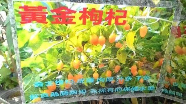 水果果苗 ** 黃金枸杞 ** 4吋盆/高30-40cm / 皮薄 肉厚【花花世界玫瑰園】R