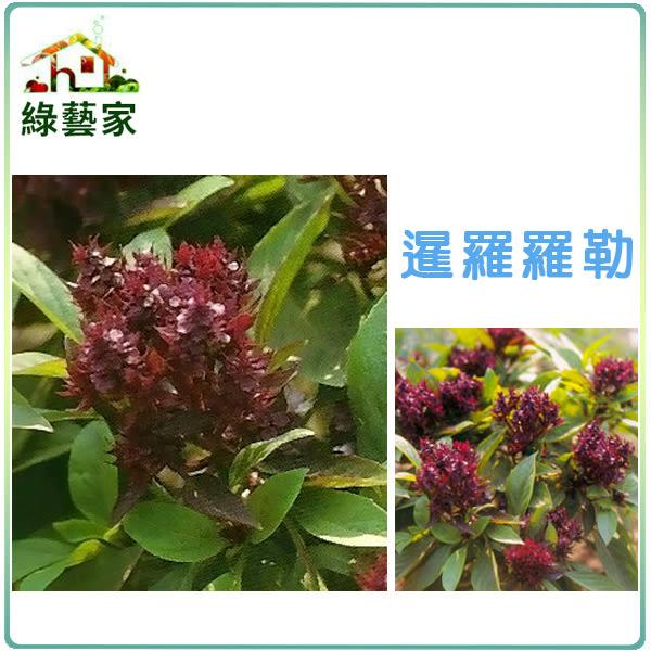 【綠藝家】K13.暹羅羅勒種子20顆
