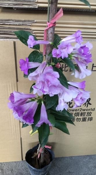 花花世界_藤蔓植物--蒜香藤--會產生濃濃的大蒜香味/4吋竹竿盆/ 高60-100公分/Ts