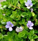 [海洋之星] 室外植物  5吋活體盆栽 送禮小品盆栽