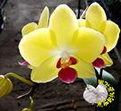 [黃色小蝴蝶蘭花盆栽] 3寸盆 活體蘭花...