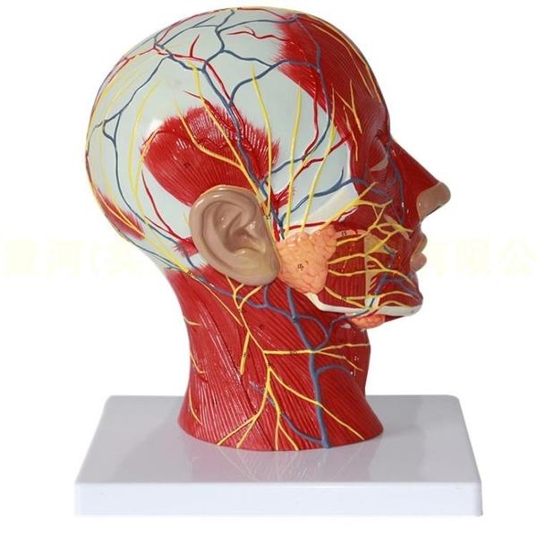人體頭部矢狀切面附血管神經模型 醫學整形美容面部神經血管結構