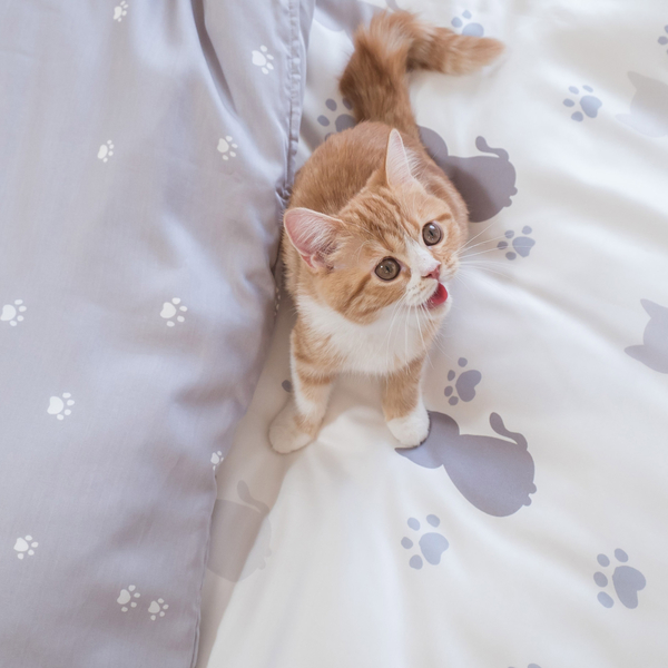 天絲床組 紫色貓月 S4單人薄床包與兩用被三件組(40支)  100%天絲 棉床本舖
