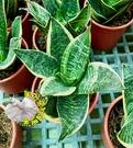 5吋盆[蓮花虎尾蘭 虎皮蘭盆栽 ] 活體室內植物盆栽 需光線明亮充足環境 ~