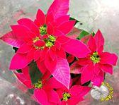 5吋盆 粉紅色或桃紅色聖誕紅盆栽 [[顏色&品種隨機出貨!]] 半日照佳 聖誕節禮物盆栽