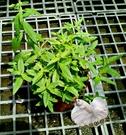 [大檸檬馬鞭草盆栽] 5-6吋盆活體香草植物盆栽, 可食用可泡茶