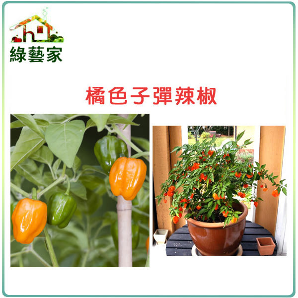 【綠藝家】大包裝G72.橘色子彈辣椒種子80顆