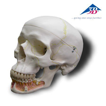 A22德國3B成人頭顱骨模型(實用的人體模型/人骨模型/骨骼模型/頭骨模型/教學模型/頭顱模型)