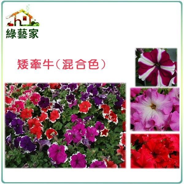 【綠藝家】大包裝H34.矮牽牛(混合色,高40~50cm)種子900顆