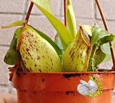 新品種綠色斑點圓瓶豬籠草3 吋吊盆食蟲植物豬籠草盆栽送禮 生態觀察教學盆栽會補食昆蟲