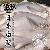 【WANG-全省免運】日本特大2XL白鯧魚X1尾(800g±10%含冰重/尾)