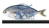 B1【魚大俠】FH037鮮凍花鯧魚(星點鯧)400/500單凍原料無去內臟