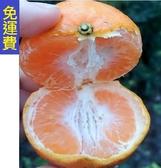 愛媛桔日本蜜柑★過年前2月水果花蓮栽種自然農法 8斤 過年年終春節禮盒