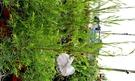 香草植物 澳洲茶樹盆栽 3吋盆活體盆栽, 可食用可泡茶可提煉精油