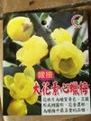 花花世界_季節花卉--大花素心蠟梅(嫁接)--**蠟質黃色**/7吋盆/高40-60公分/TC
