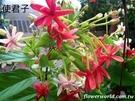花花世界_藤蔓植物--使君子--優良造景樹種/濃郁的香味/4吋/高約30-50cm/Tm
