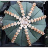 ⓒ連心玻璃兜種子(10顆裝) 仙人掌種子【K33】