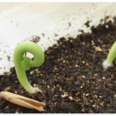 ⓒ索馬里沙漠玫瑰種子 (1顆裝) x Carmo專屬多肉園  進口多肉植物種子【C14】