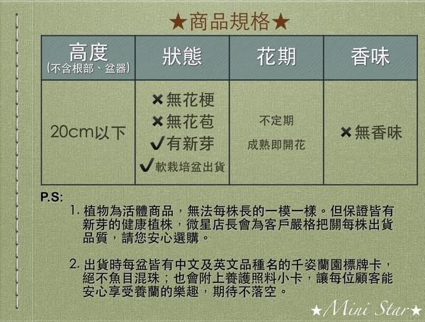 Mini Star 千姿蘭園Chian-Tzy Orchids 文心蘭 - 千姿金礦 / 微香