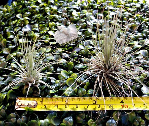 [ 小 白毛毛空氣鳳梨 Argentea] 活體空氣鳳梨 空鳳植栽 需通風良好