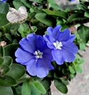 [藍星花盆栽] 室外植物 5-6吋活體花卉盆栽 送禮小品盆栽