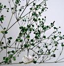 [綠色] 乾燥花滿天星花束 真花乾燥製成...