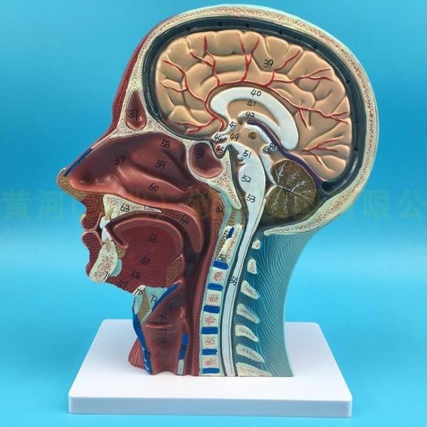 正品 頭部矢狀切面附血管神經模型 醫學整形美容面部神經血管結構