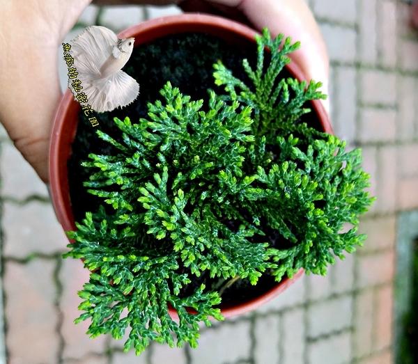 活體 [ 青檜 千層檜木 小松樹小柏樹] 室外植物 3吋盆栽 送禮小品盆栽