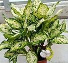 [斑葉黛粉葉粗勒草] 6吋盆 活體盆栽 ...